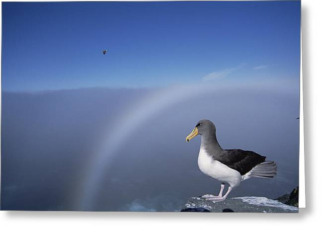 Chatham Greeting Cards - Chatham Albatross On Cliff Edge Chatham Greeting Card by Tui De Roy