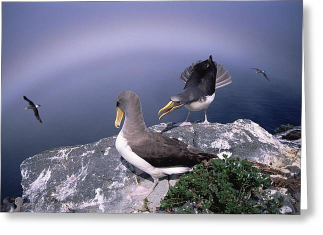 Chatham Greeting Cards - Chatham Albatross Pair On Cliff Chatham Greeting Card by Tui De Roy