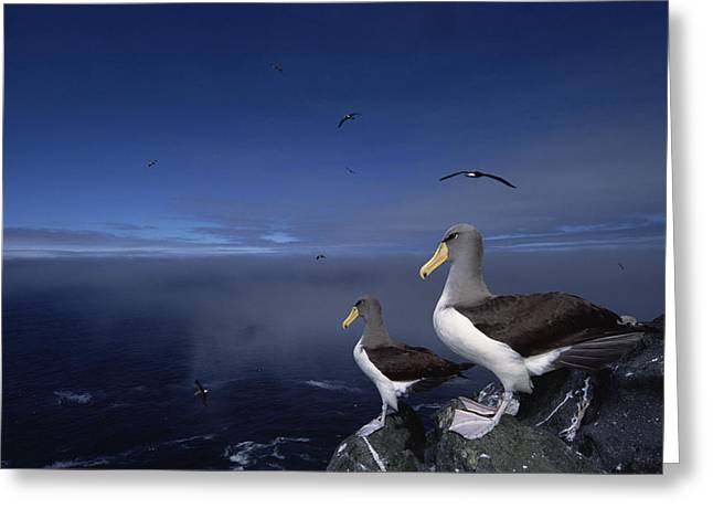 Chatham Greeting Cards - Chatham Albatrosses On A Cliff Edge Greeting Card by Tui De Roy