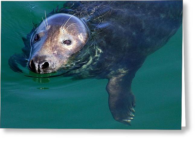 Eyebrow Greeting Cards - Chatham Harbor Seal Greeting Card by Stuart Litoff
