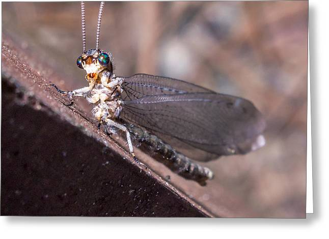 Invertebrates Greeting Cards - Chauliodes Greeting Card by Rob Sellers