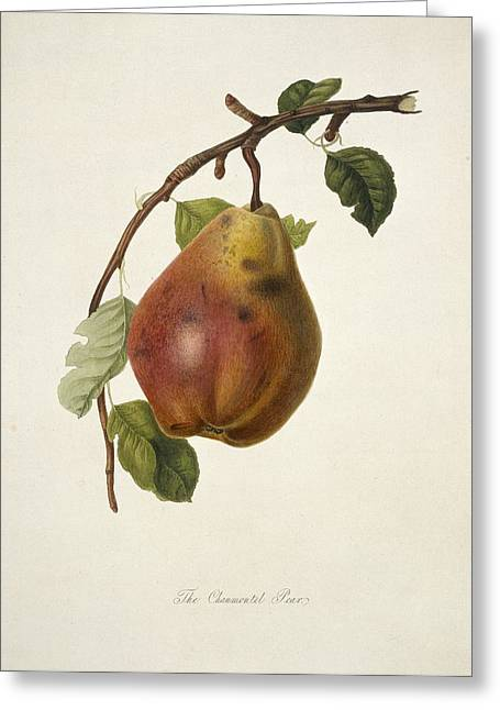 One Pear Greeting Cards - Chaumontel Pear (1818) Greeting Card by Science Photo Library