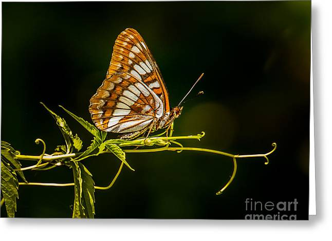 Checkerspot Butterfly Greeting Card by Janis Knight