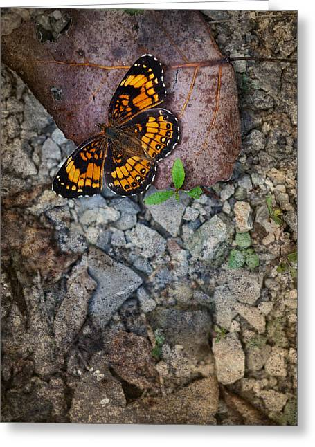 Checkerspot Butterfly Greeting Card by Melinda Fawver