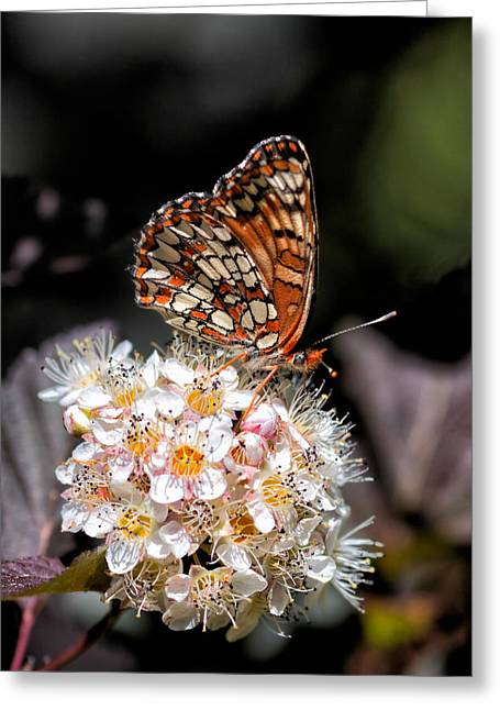 Checkerspot Greeting Cards - Checkerspot Greeting Card by Kathleen Bishop