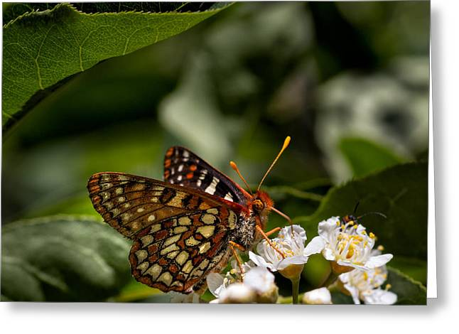 Checkerspot Greeting Cards - Checkerspot Sipping Nectar Greeting Card by Kathleen Bishop