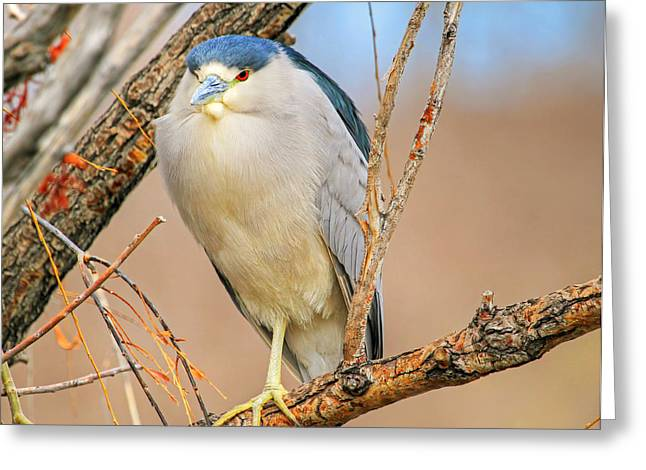 Crowned Heron Greeting Cards - Chin and Cheeks Greeting Card by Donna Kennedy