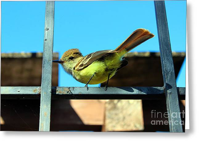Darwin Greeting Cards - Cheeky Darwins Finch In The Galapagos Greeting Card by Al Bourassa
