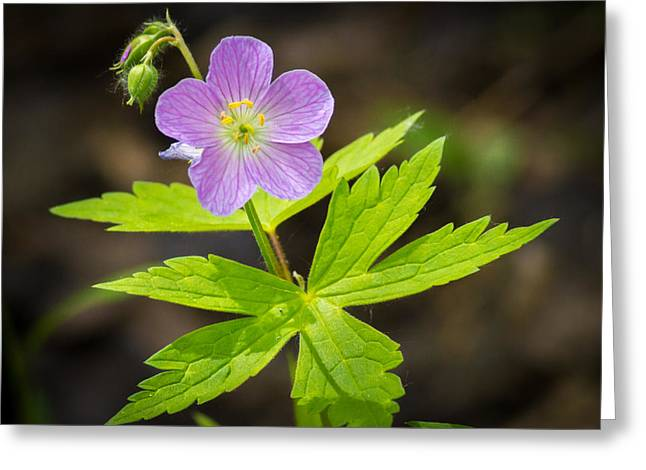 Wisconsin Wildflowers Greeting Cards - Cheerful Disposition Greeting Card by Bill Pevlor