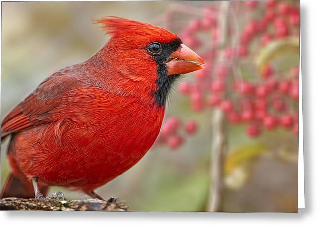 Male Northern Cardinal Greeting Cards - Cheerful Presence in the Garden Greeting Card by Bonnie Barry