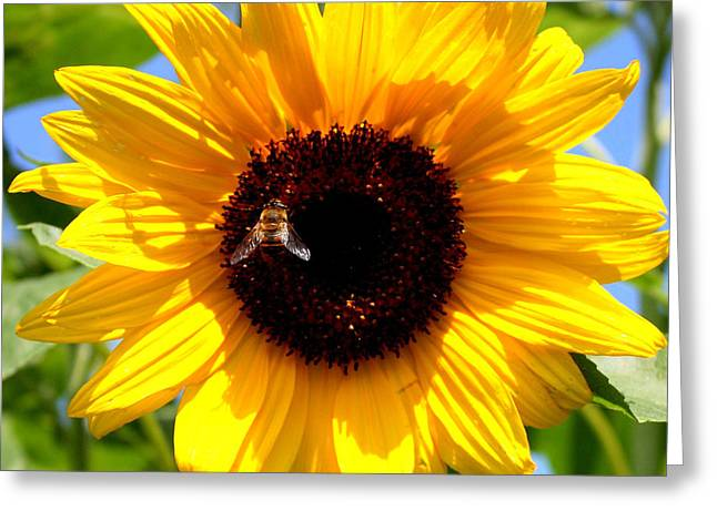 Yellow Sunflower Greeting Cards - Cheerful Sunflower with Bee Greeting Card by Carol Groenen