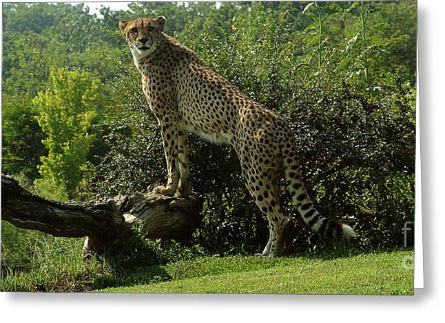 Gingrich Photography Digital Greeting Cards - Cheetah-1 Greeting Card by Gary Gingrich Galleries