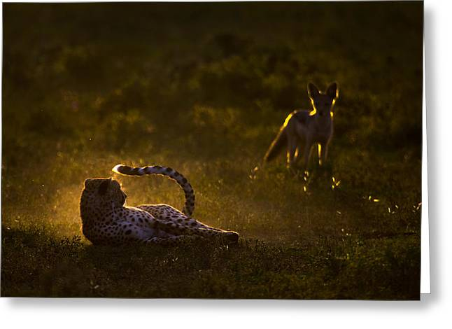 Backlit Greeting Cards - Cheetah Acinonyx Jubatus And Jackal Greeting Card by Panoramic Images