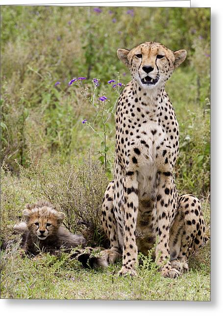 Cheetah  Acinonyx Jubatus Greeting Card by Carol Gregory