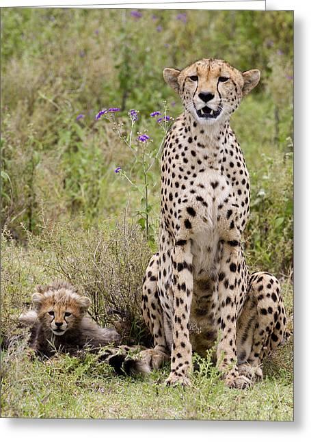 Preditor Greeting Cards - Cheetah  Acinonyx jubatus Greeting Card by Carol Gregory