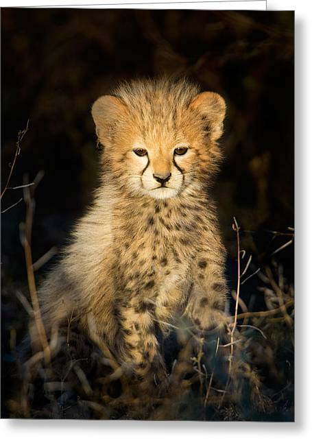 Threatened Species Greeting Cards - Cheetah Acinonyx Jubatus Cub Greeting Card by Panoramic Images