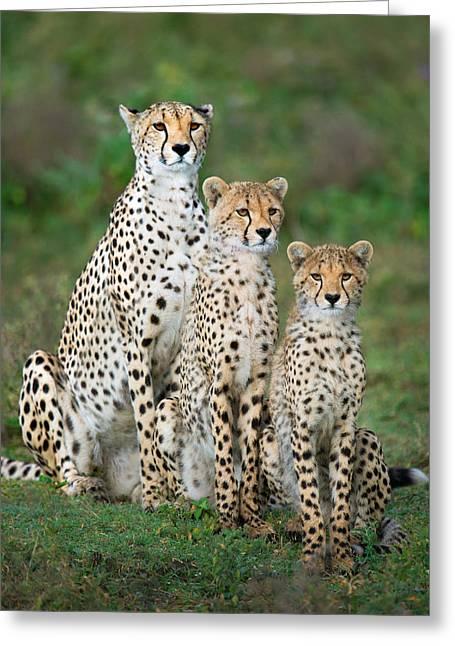 Acinonyx Jubatus Greeting Cards - Cheetah Acinonyx Jubatus Family, Ndutu Greeting Card by Panoramic Images