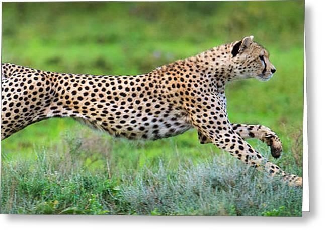 Acinonyx Jubatus Greeting Cards - Cheetah Acinonyx Jubatus Hunting Greeting Card by Panoramic Images