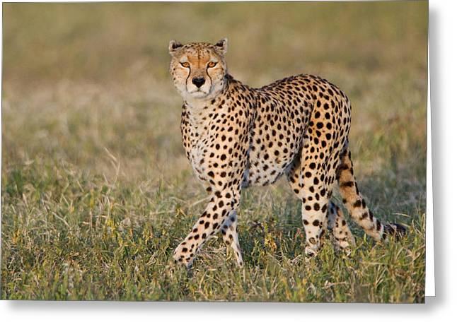 Acinonyx Jubatus Greeting Cards - Cheetah Acinonyx Jubatus In A Forest Greeting Card by Panoramic Images