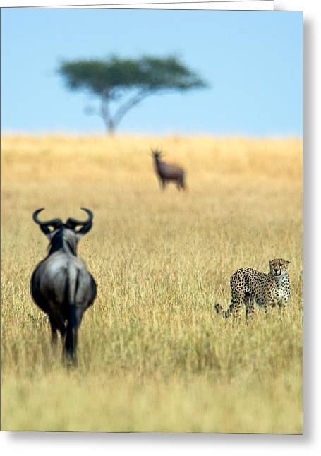 Threatened Species Greeting Cards - Cheetah Acinonyx Jubatus Greeting Card by Panoramic Images
