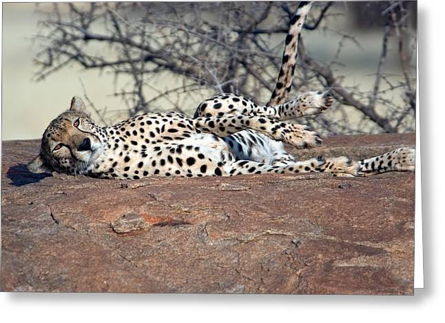 Laziness Greeting Cards - Cheetah Acinonyx Jubatus Resting Greeting Card by Panoramic Images