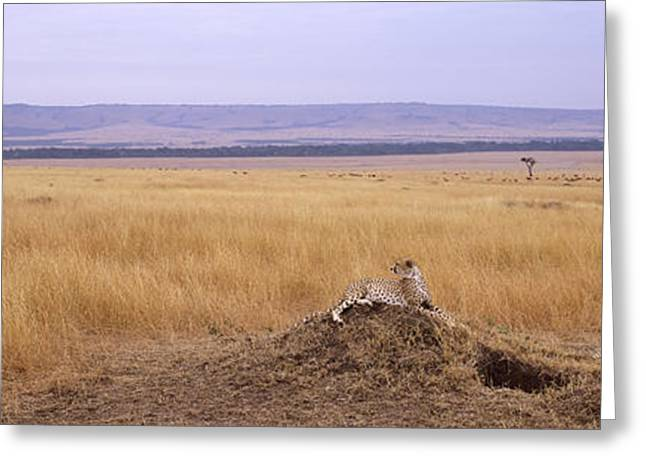 Cheetah Acinonyx Jubatus Sitting Greeting Card by Panoramic Images