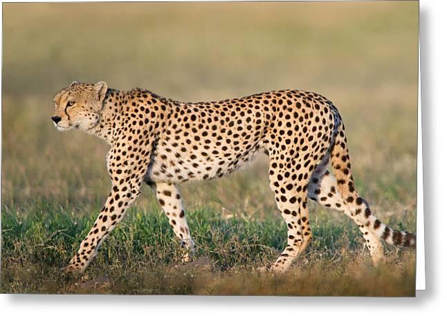Acinonyx Jubatus Greeting Cards - Cheetah Acinonyx Jubatus Walking Greeting Card by Panoramic Images