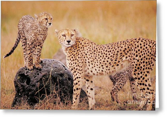 Protected Species Greeting Cards - Cheetah And Cubs Greeting Card by Gregory G. Dimijian
