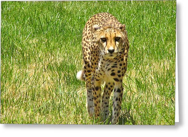 Cmlbrown Greeting Cards - Cheetah Approaching Greeting Card by CML Brown