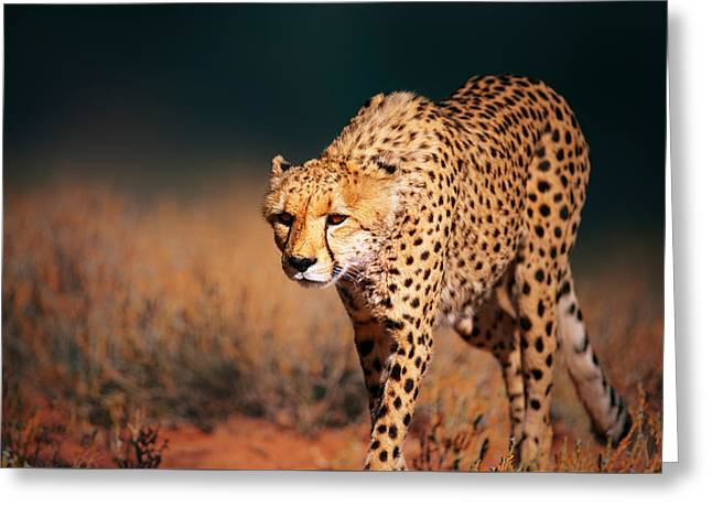 Carnivore Greeting Cards - Cheetah approaching from the front Greeting Card by Johan Swanepoel