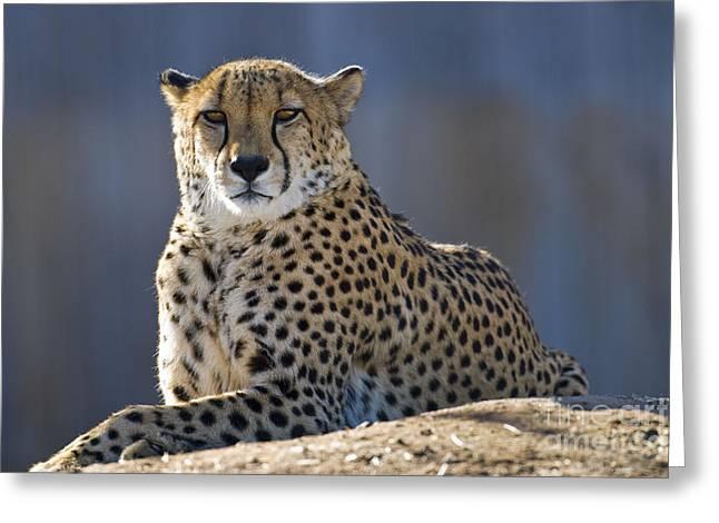 Captive Animals Greeting Cards - Cheetah Greeting Card by Juli Scalzi