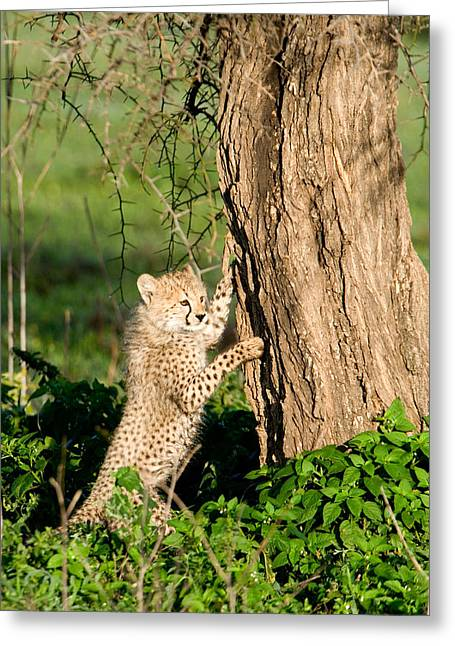 Climbing In Greeting Cards - Cheetah Cub Acinonyx Jubatus Climbing Greeting Card by Panoramic Images