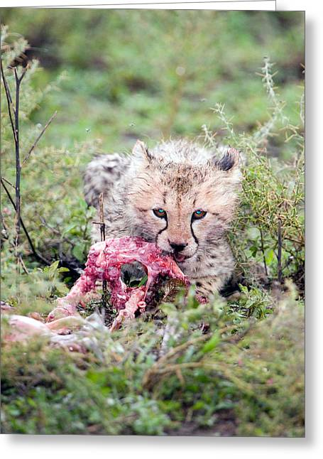 The Big One Greeting Cards - Cheetah Cub Acinonyx Jubatus Eating Greeting Card by Panoramic Images