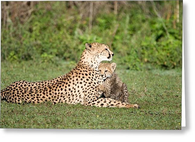 East Africa Greeting Cards - Cheetah Cub Acinonyx Jubatus Playing Greeting Card by Panoramic Images