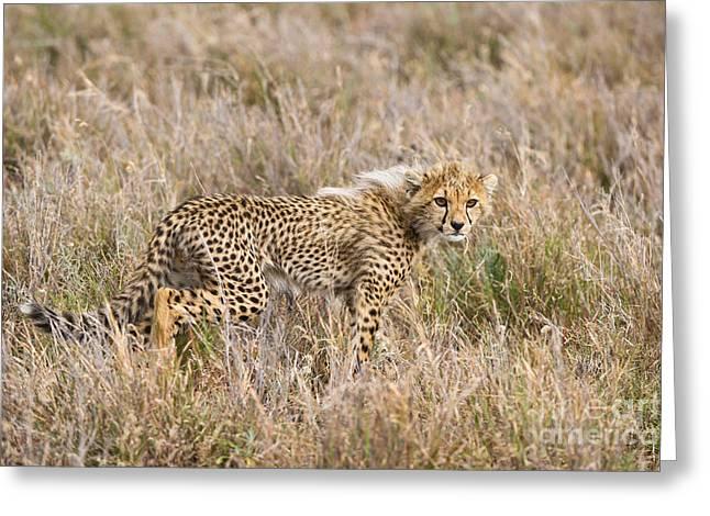 Cheetah Photographs Greeting Cards - Cheetah Cub Greeting Card by Daryl & Sharna Balfour