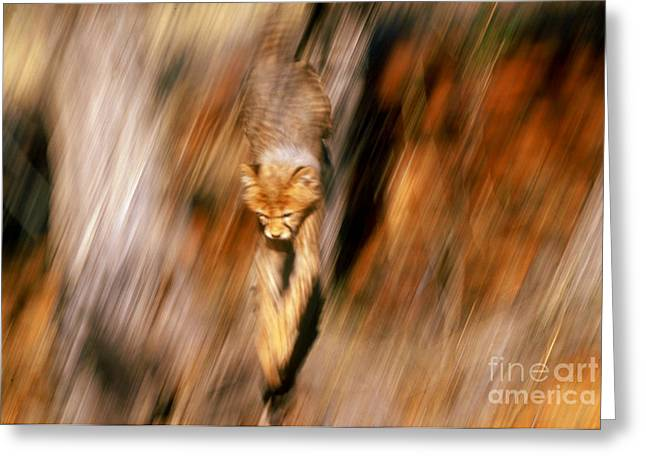 Cheetah Photographs Greeting Cards - Cheetah Cub In Action Greeting Card by Art Wolfe