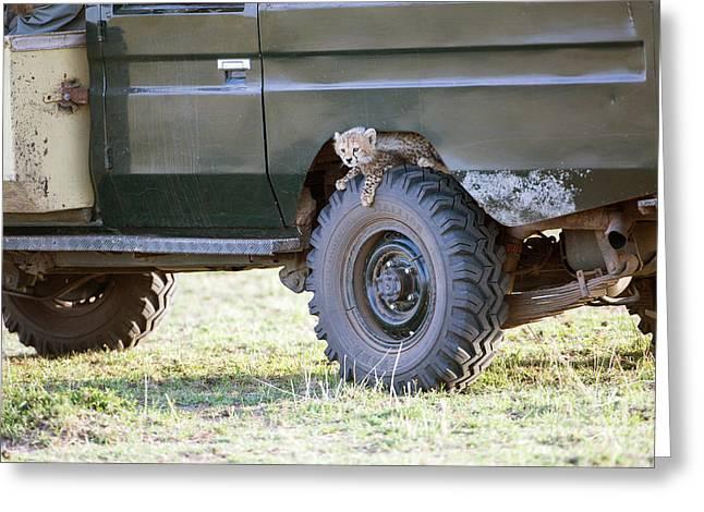 Cheetah Photographs Greeting Cards - Cheetah Cub On Wheel Of Vehicle Greeting Card by Greg Dimijian