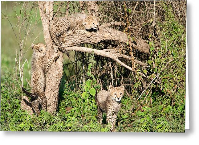 Climbing In Greeting Cards - Cheetah Cubs Acinonyx Jubatus Climbing Greeting Card by Panoramic Images