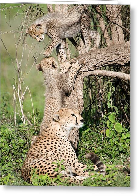 The Big Three Greeting Cards - Cheetah Cubs Acinonyx Jubatus Greeting Card by Panoramic Images