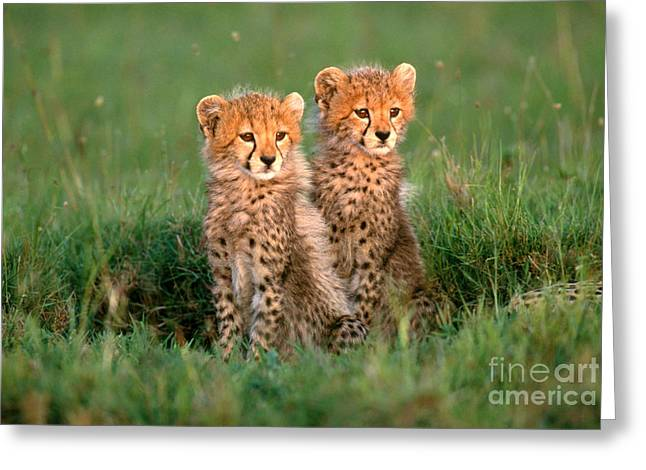 Cheetah Photographs Greeting Cards - Cheetah Cubs Greeting Card by Art Wolfe