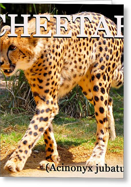 Cheetah Hunting Greeting Cards - Cheetah educational work A Greeting Card by David Lee Thompson