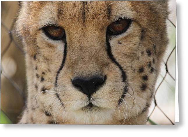 Speed Trap Greeting Cards - Cheetah Eyes Greeting Card by Dan Sproul