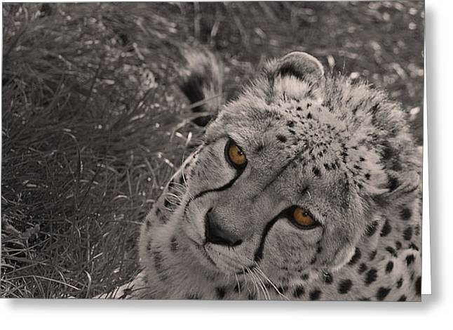 Cats Photographs Greeting Cards - Cheetah Eyes Greeting Card by Martin Newman