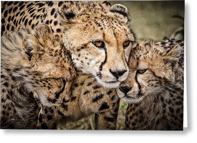 Close-up Of Cat Greeting Cards - Cheetah Family Portrait Greeting Card by Mike Gaudaur