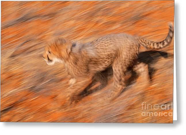 Cheetah Photographs Greeting Cards - Cheetah, Kalahari Desert Greeting Card by Art Wolfe