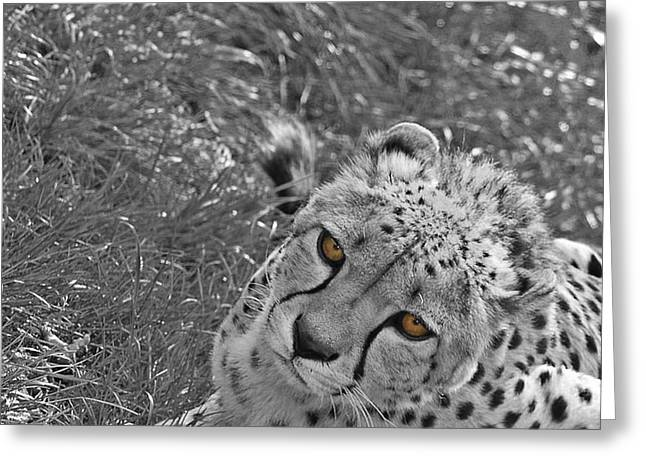 Wildlife Photography Greeting Cards - Cheetah Greeting Card by Martin Newman