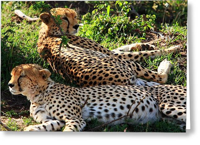 Cheetah Photographs Greeting Cards - Cheetah - Masai Mara - Kenya Greeting Card by Aidan Moran