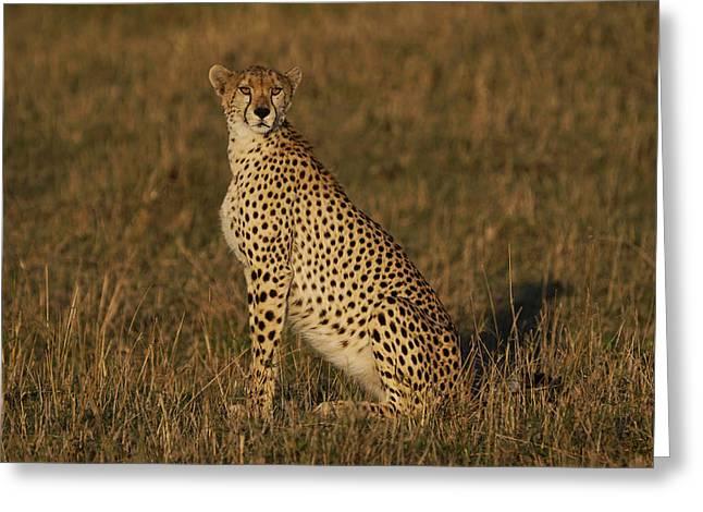 Cheetah On Savanna Masai Mara Kenya Greeting Card by Hiroya Minakuchi