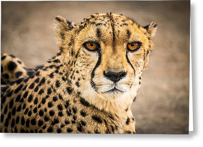 Fast Greeting Cards - Cheetah Portrait - Photograph by Duane Miller Greeting Card by Duane Miller