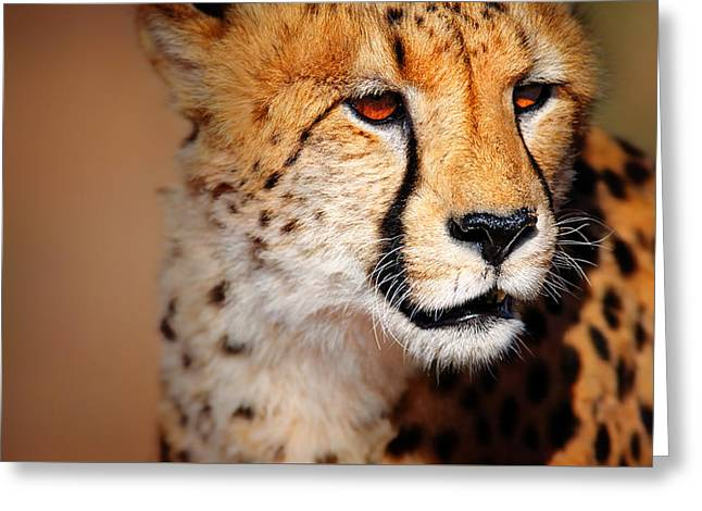 Fast Greeting Cards - Cheetah portrait Greeting Card by Johan Swanepoel